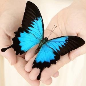 Blue butterfly in hands