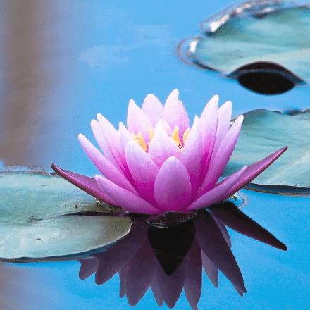 Purple lotus flower on the water