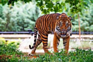 Tiger slowly walking looking at camera